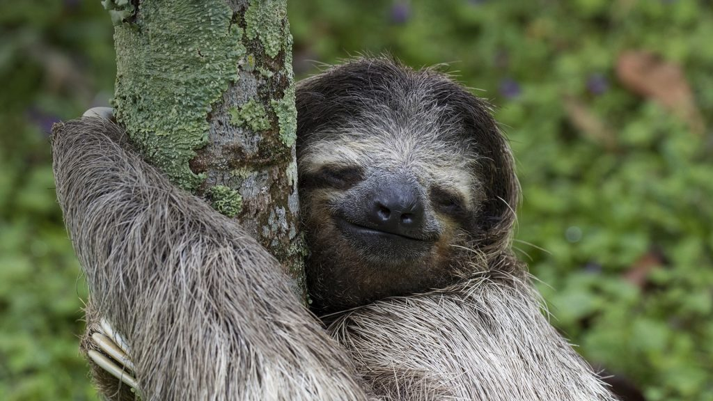 Three-toed sloth in Costa Rica