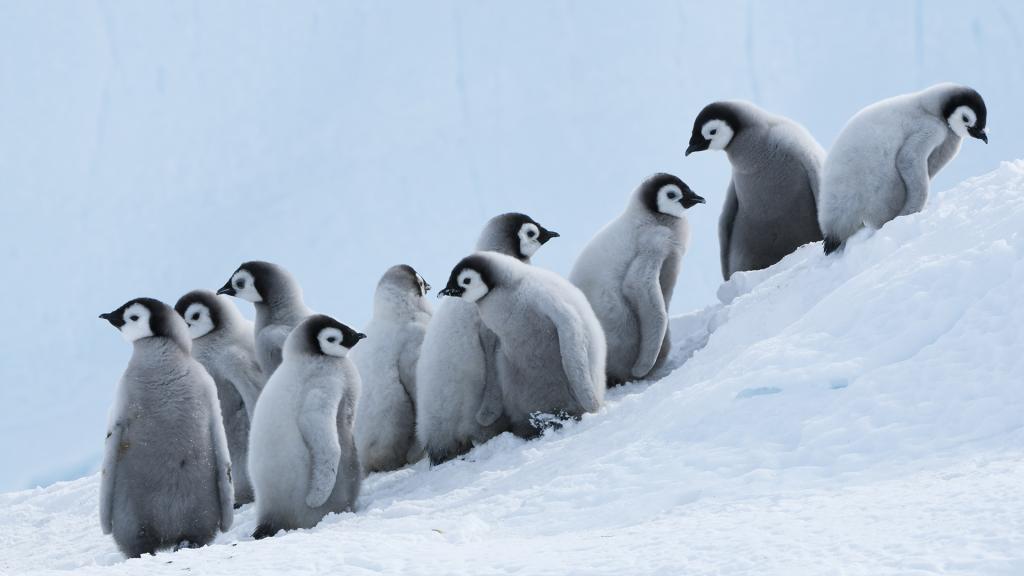 Emperor Penguin (Aptenodytes forsteri) chicks on slope, Prydz Bay, eastern Antarctica