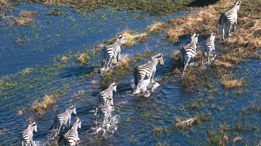 Plains zebras (Equus quagga) walking in a flood plain, Okavango Delta, Botswana