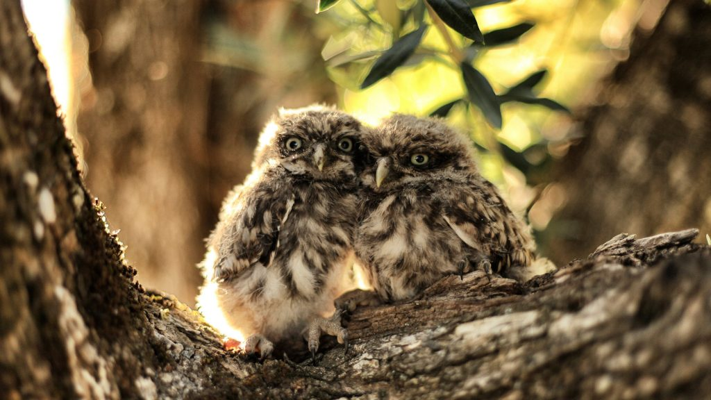 Pair of pygmy owls rests on a tree