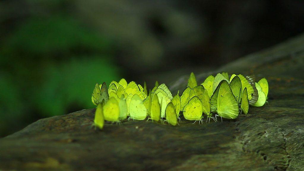 Butterflies in Kaeng Krachan National Park, Phetchaburi, Thailand