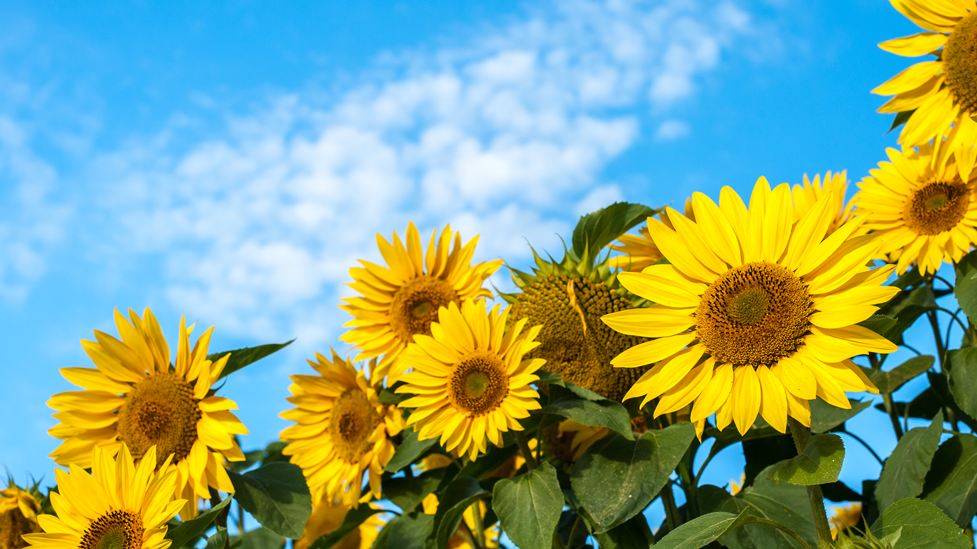 Sunflowers Against A Blue Sky Windows 10 Spotlight Images