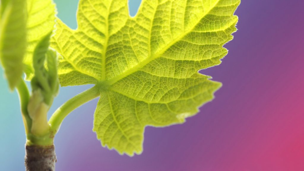 Adriatic fig leaf close up photo