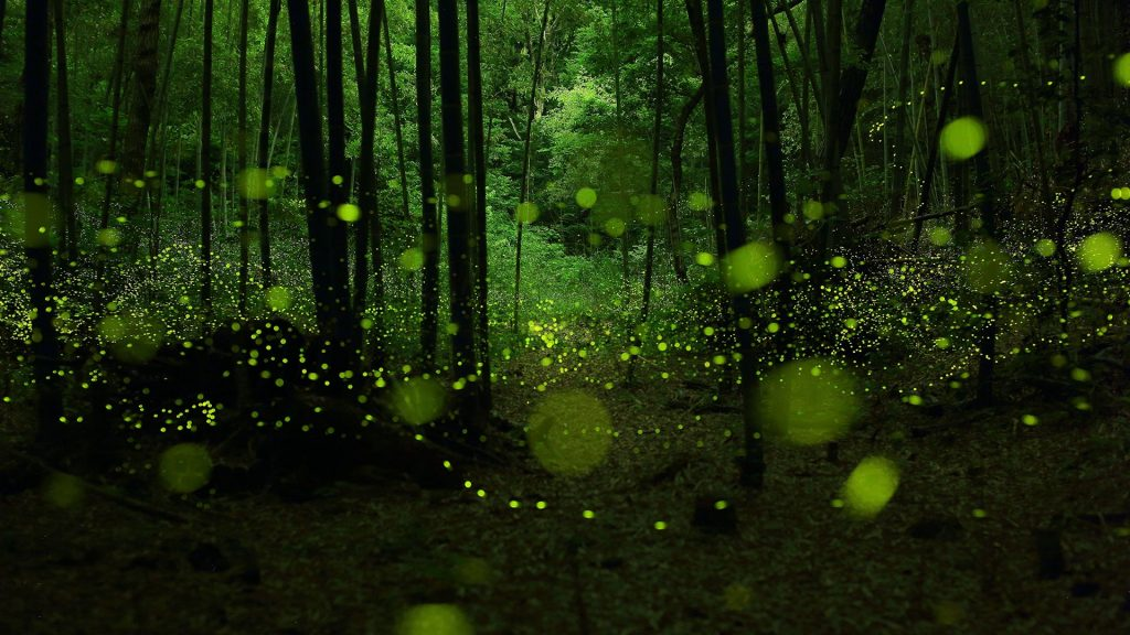 Wild dance of golden fairies, fireflies in bamboo forest, Nagoya, Japan