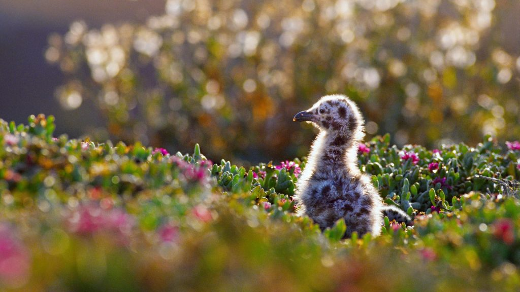 Western gull chick in Channel Islands National Park, California, USA