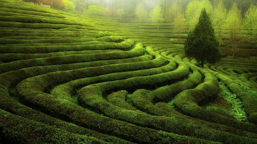 The morning of the green tea field, Boseong,  South Jeolla, South Korea