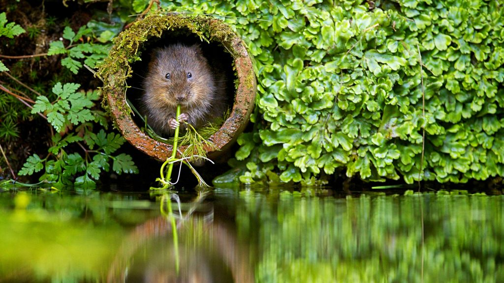 European water vole (Arvicola amphibious) in pipe with grass, East Malling, Kent, England, UK