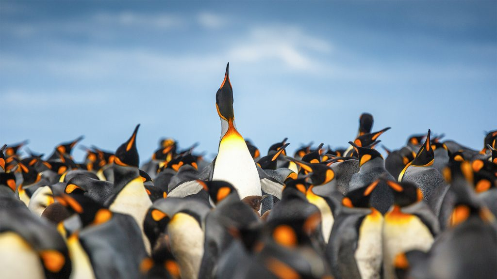 King penguin stands out in the middle of the colony, Gold Harbour, South Georgia