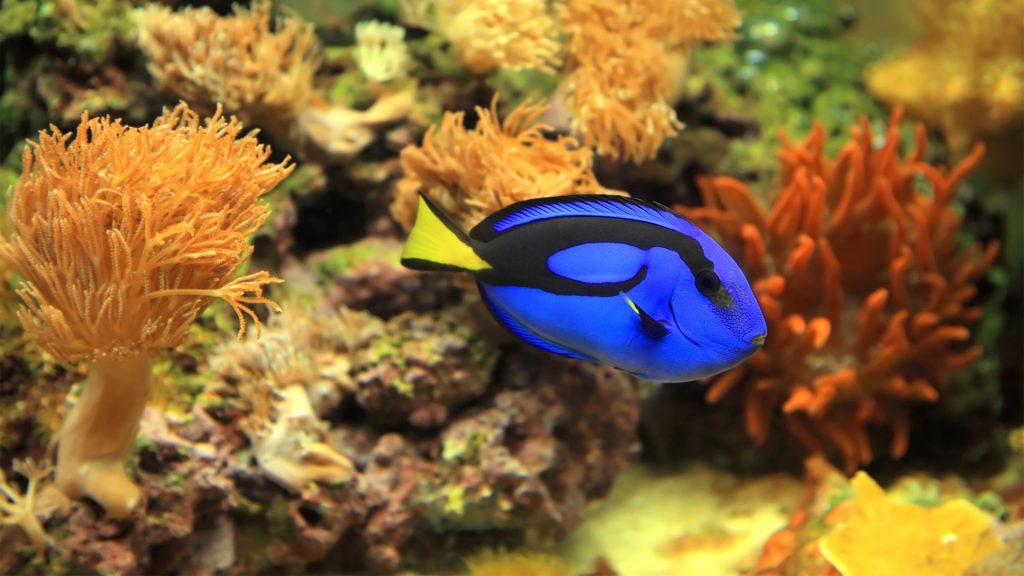 Blue fish in saltwater aquarium close up shot