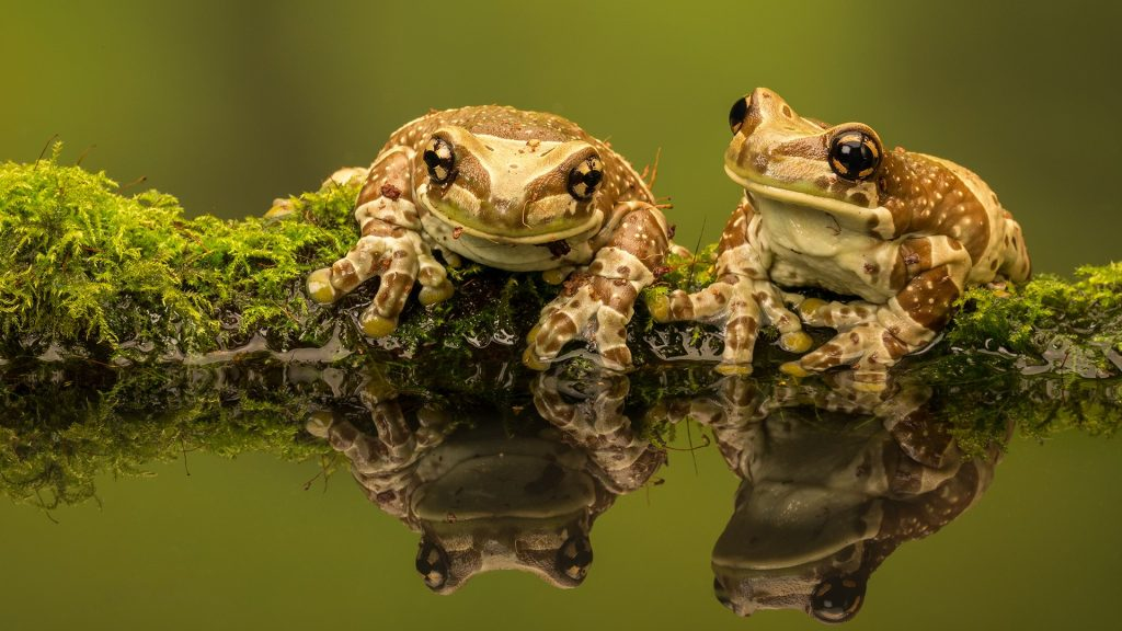 Two Amazon Milk frogs (Trachycephalus resinifictrix) reflections in pond