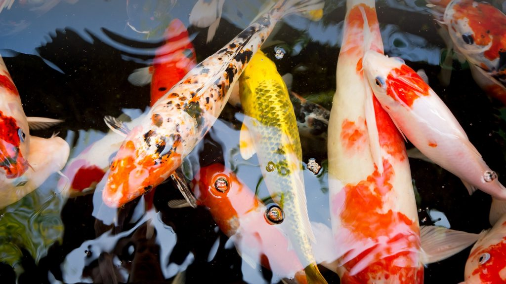 Many koi carps in black pond