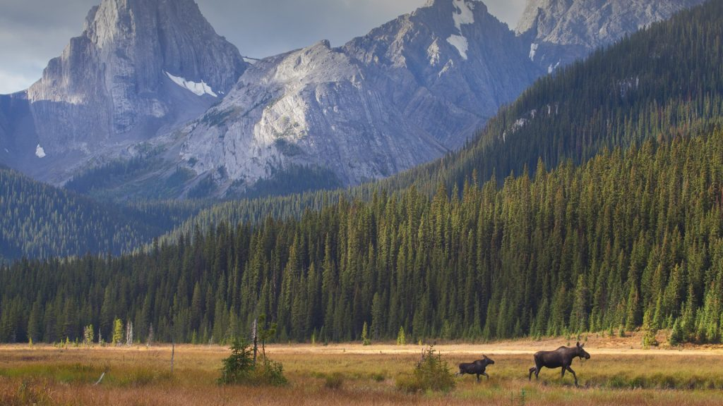 A cow moose leads her calf out of a meadow, Kananaskis Country, Alberta, Canada