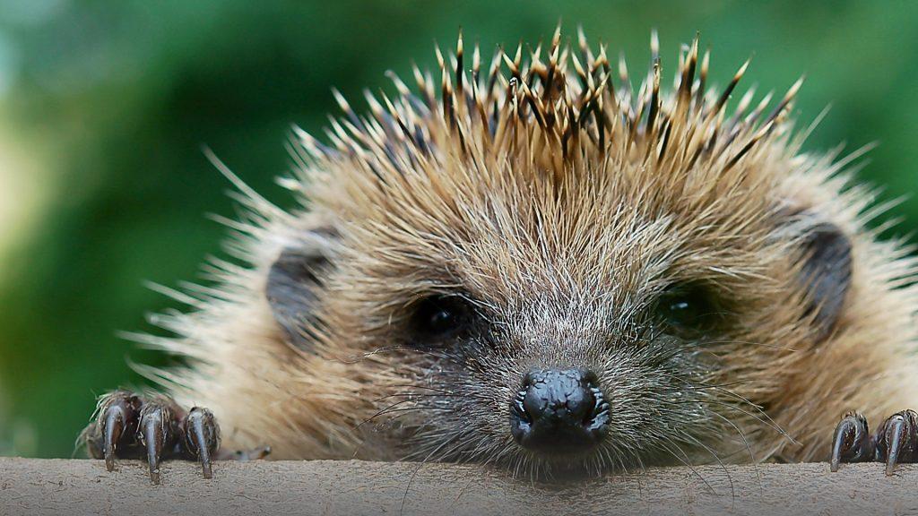 The European hedgehog (Erinaceus europaeus), Bad Driburg, Germany