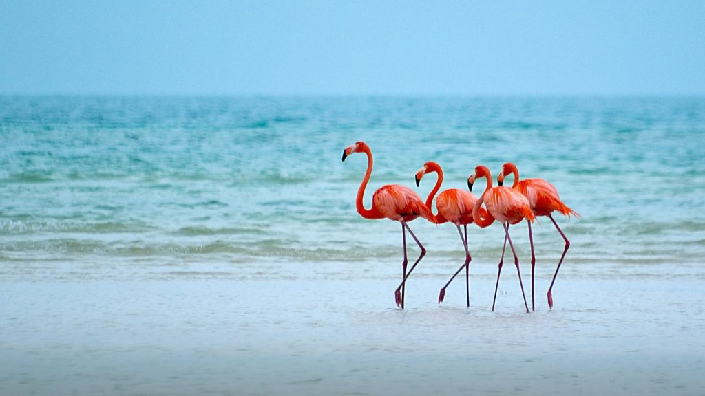 Flamingos in their natural state, Isla Holbox, Quintana Roo, Mexico