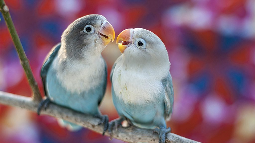 Lovebirds (Agapornis) with colorful background
