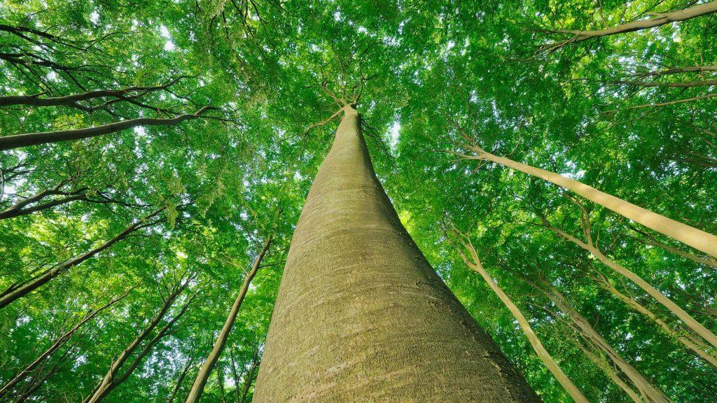Looking up at Beech Trees, Jasmund National Park, Ruegen Island, Mecklenburg-Vorpommern, Germany