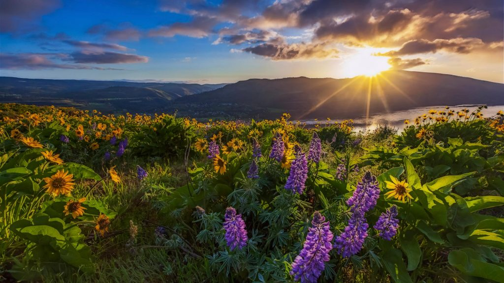 Beautiful widflower in sunrise, Columbia river gorge, Oregon, USA