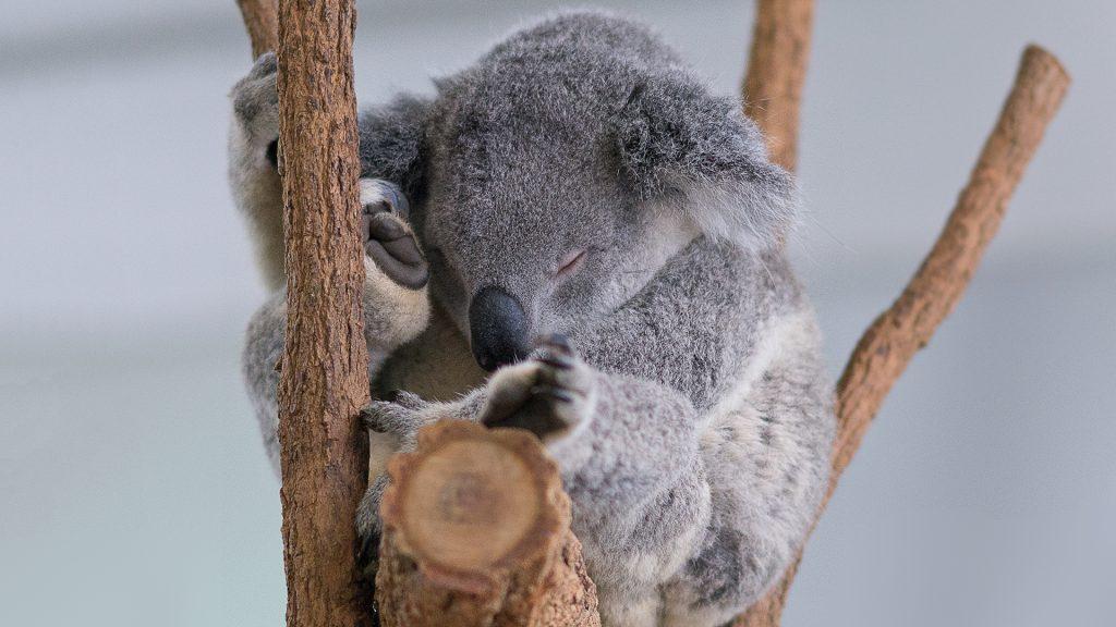 Koala sleeps, Lone Pine Koala Sanctuary, Brisbane, Australia