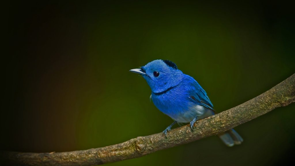 Male black-naped monarch (Hypothymis azurea) on the branch, Thailand