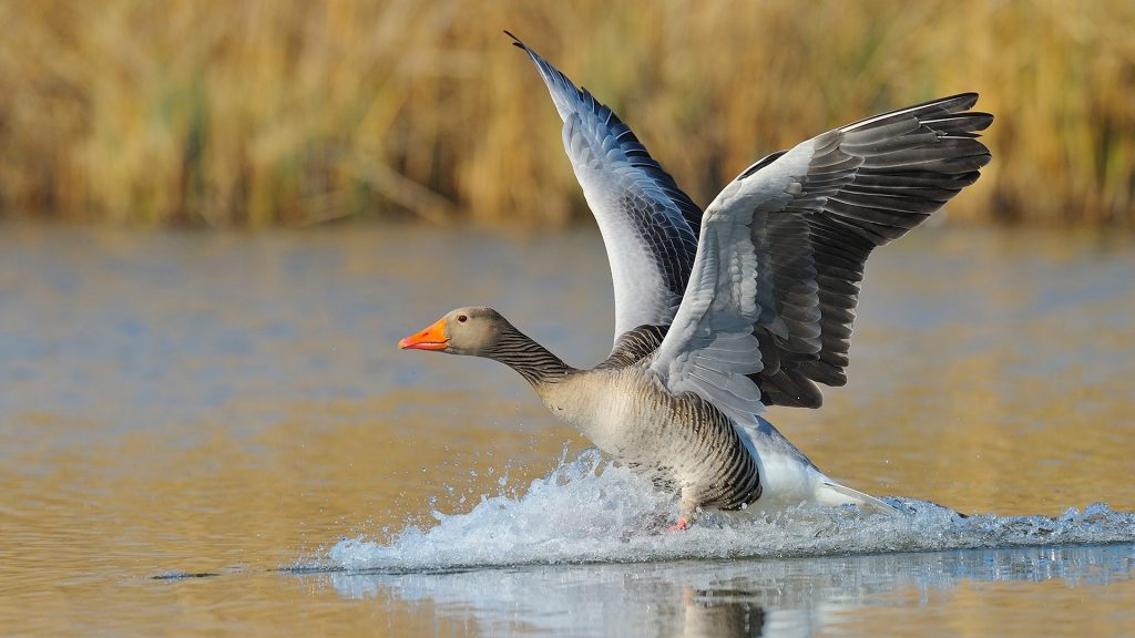Greylag goose (Anser anser) landing on lake, Hesse, Germany
