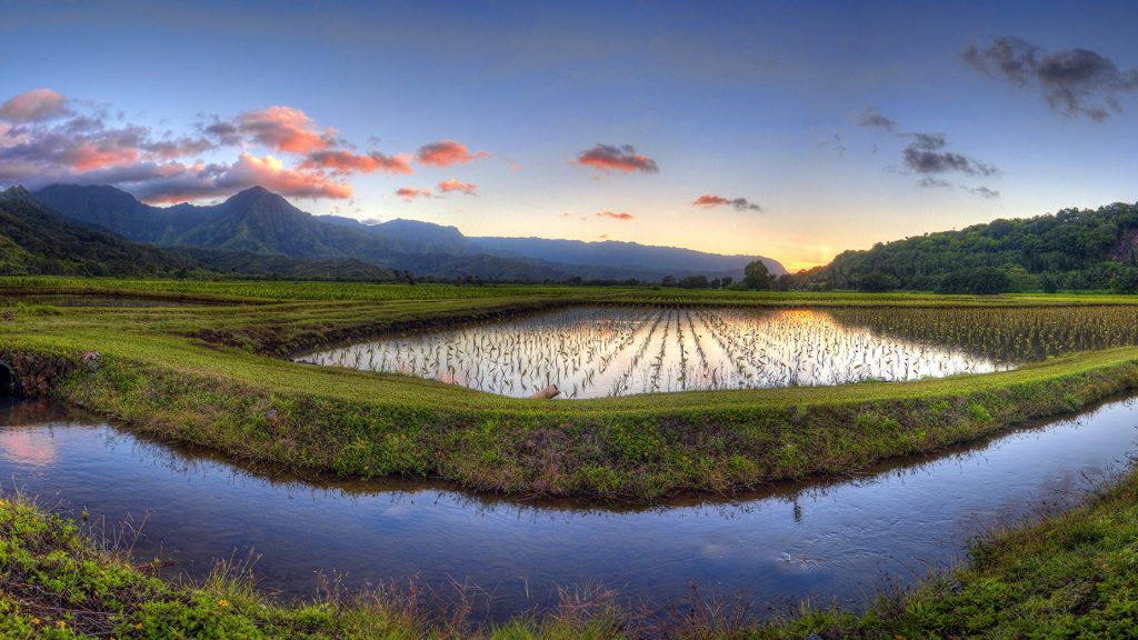 Hanalei Taro Fields within the Hanalei River Valley, Kauai, Hawaii, USA