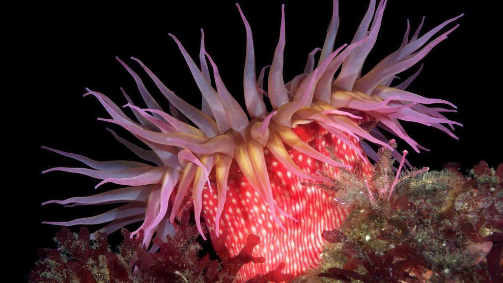 Red rose sea anemone,  San Miguel Island, Channel Islands, California, USA