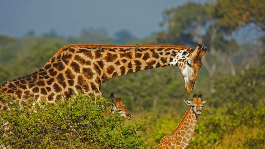 Male giraffe and calves, Kruger National Park, South Africa