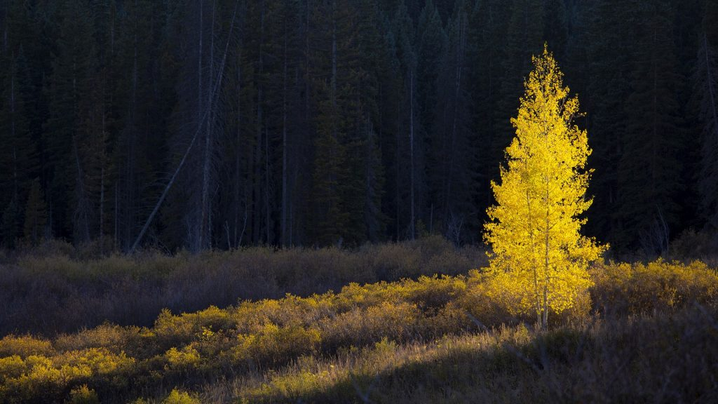 Glowing yellow autumn tree, Kebler Pass, Colorado, USA
