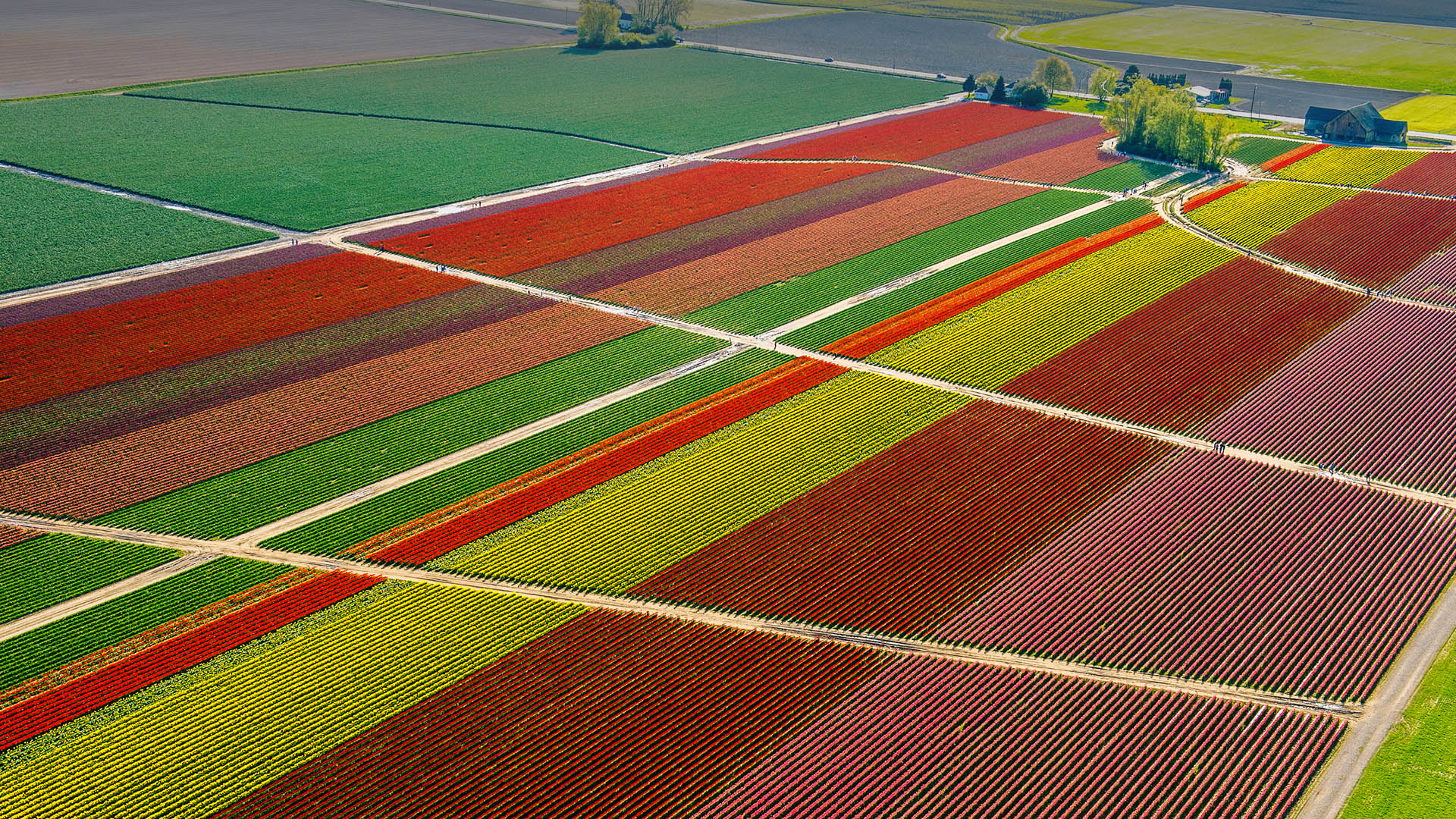 Aerial view of tulip fields and paths, Skagit Valley ...