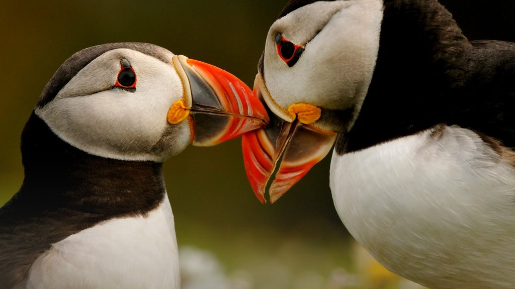 Two Atlantic Puffins (Fratercula arctica) on Skomer Island near Pembrokeshire, Wales, UK