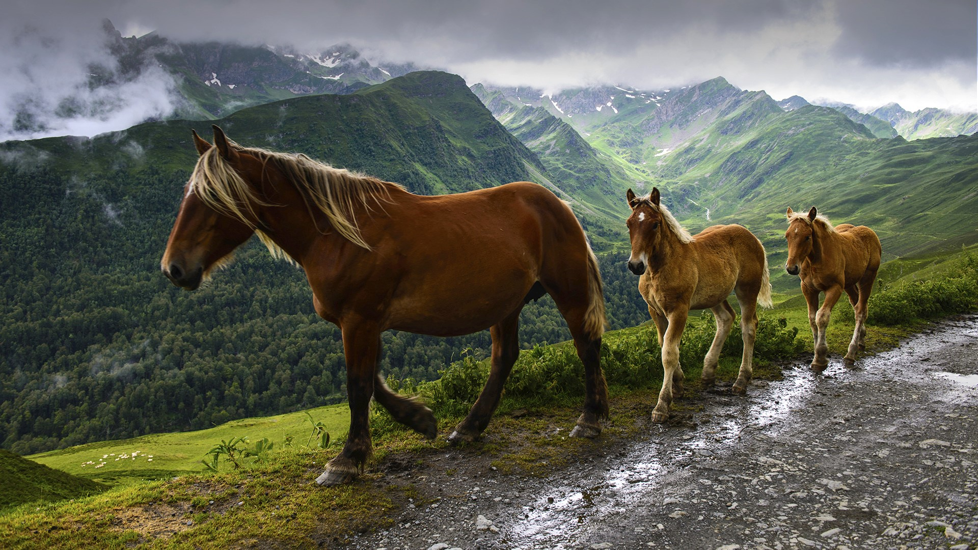 Wild mare and foals walking in a row on mountain road for Window horses