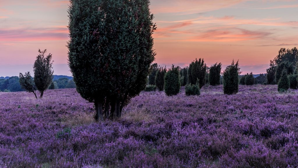 Lüneburg Heath after sunset, Heath district, Lower Saxony, Germany
