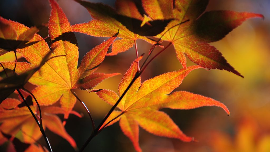 Colorful autumn leaves of Japanese Maple tree lit with sun