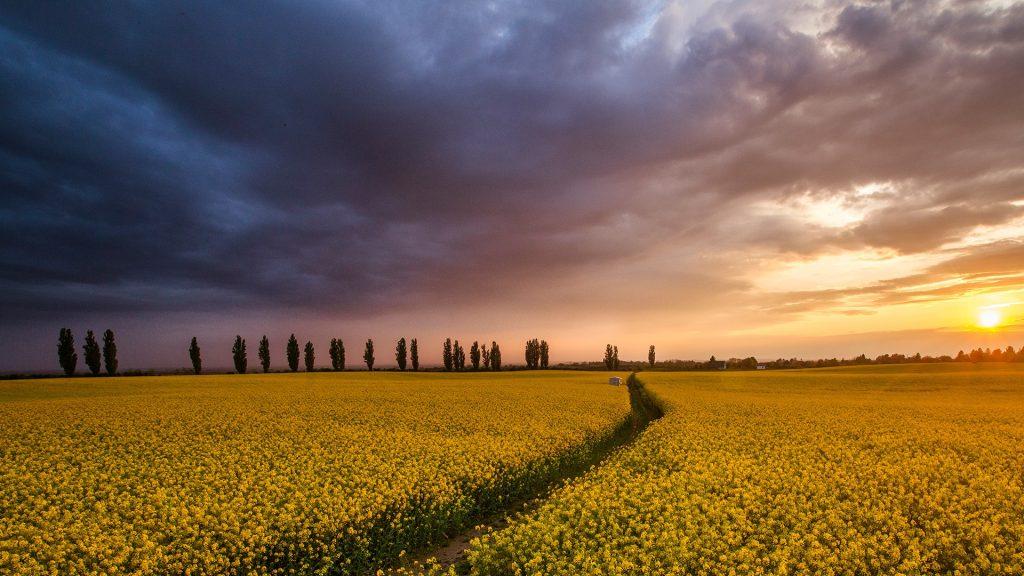 Colza field at sunset, Tuscany, Italy