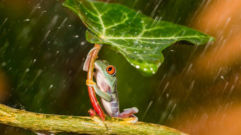 Natural umbrella, red eye tree frog holding leaf during rain, England, UK