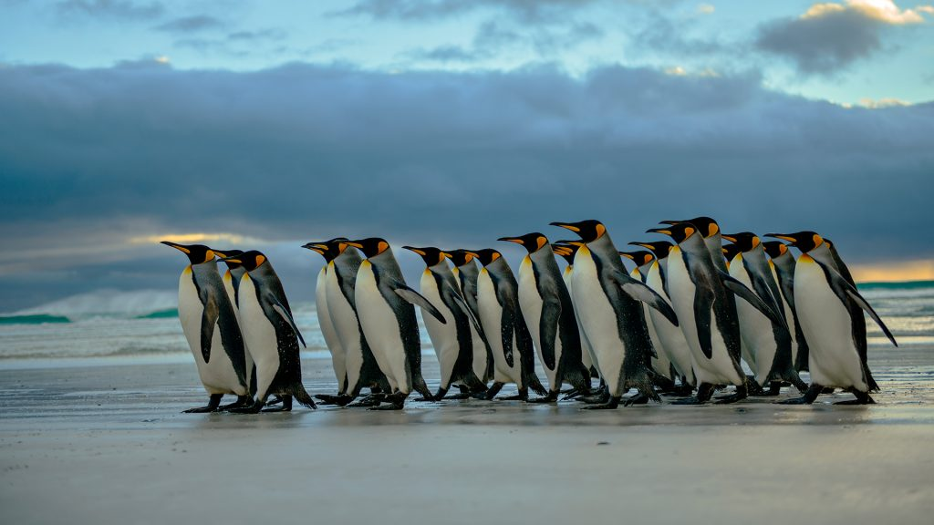 King Penguins (Aptenodytes patagonicus) patrol along Volunteer Point beach, Falkland Islands