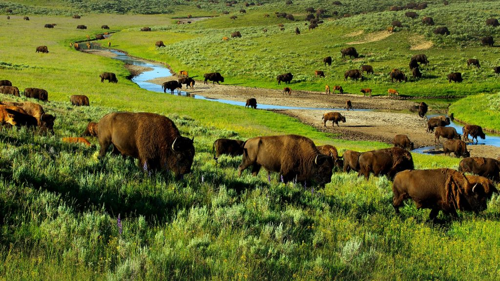 Buffaloes (bison) in Hayden Valley, Yellowstone National Park, Wyoming, USA