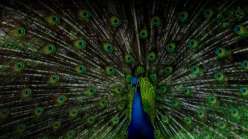 Indian Peafowl or Peacock displaying tail feathers