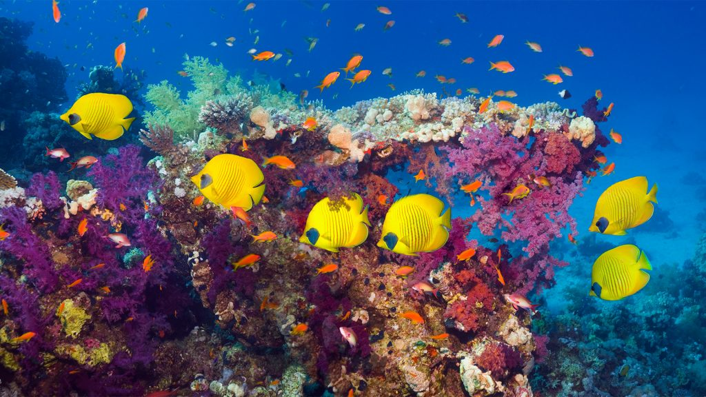 Coral reef with golden butterflyfish (Chaetodon semilarvatus), Red Sea, Egypt