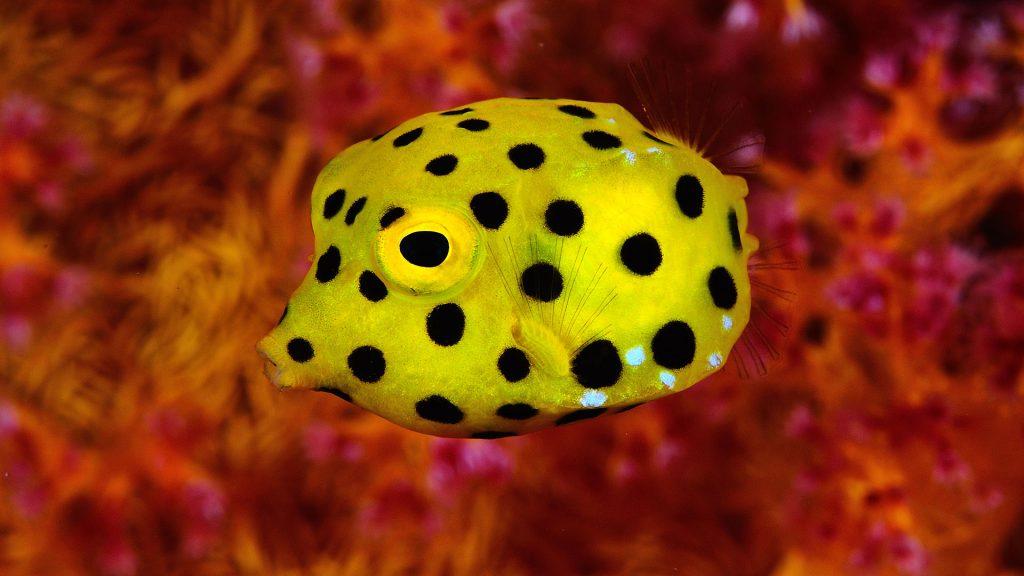 Yellow boxfish (Ostracion cubicus) on red, Israel