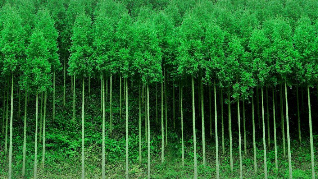 Japanese cedar trees forest, Ukyō-ku, Kyoto, Japan