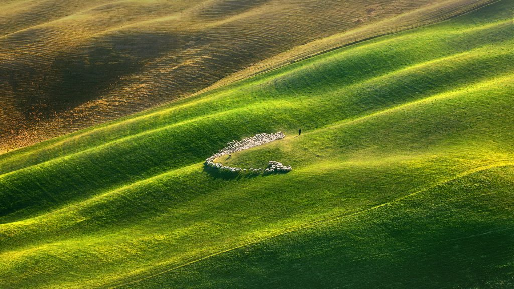 Flock of sheep grazing in green field, Tuscany, Italy