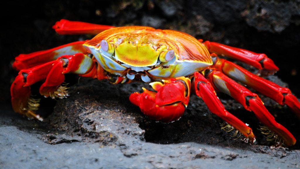 Bright Crab on the Galapagos Islands beach, Santa Cruz, Ecuador