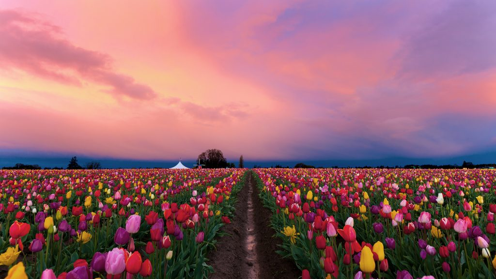 Sunrise over wooden shoe tulip farm in Woodburn, Oregon, USA