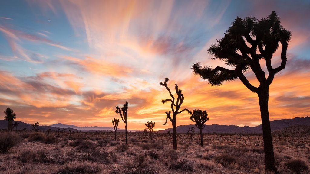 Joshua trees at sunset, Joshua Tree National Park, California, USA