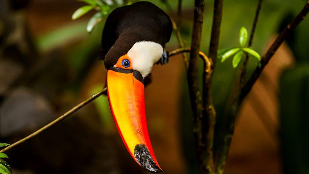 Toucan sitting on a branch, Parque das Aves Bird Park, Foz do Iguaçu, Paraná State, Brazil