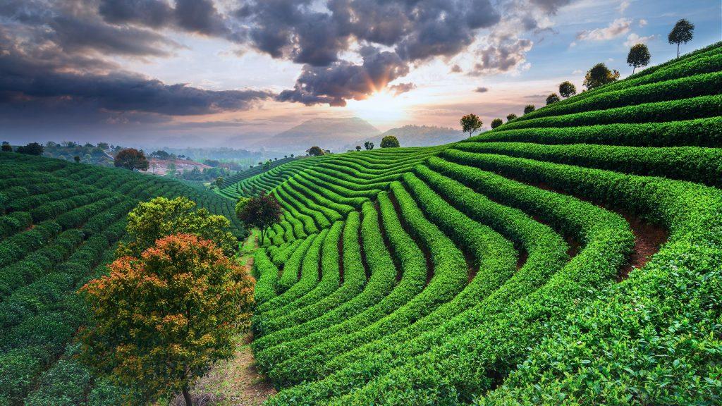 Tea plantations under sky during sunset, China