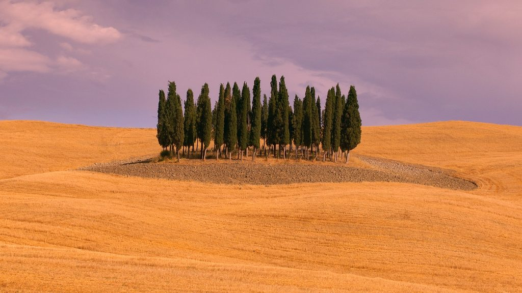 Cypress grove in harvested wheat field, Tuscany, Italy