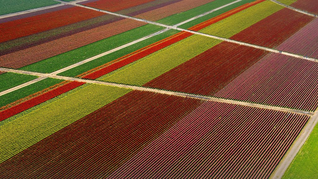 Skagit Valley aerial view of tulip fields and paths, Washington state, USA