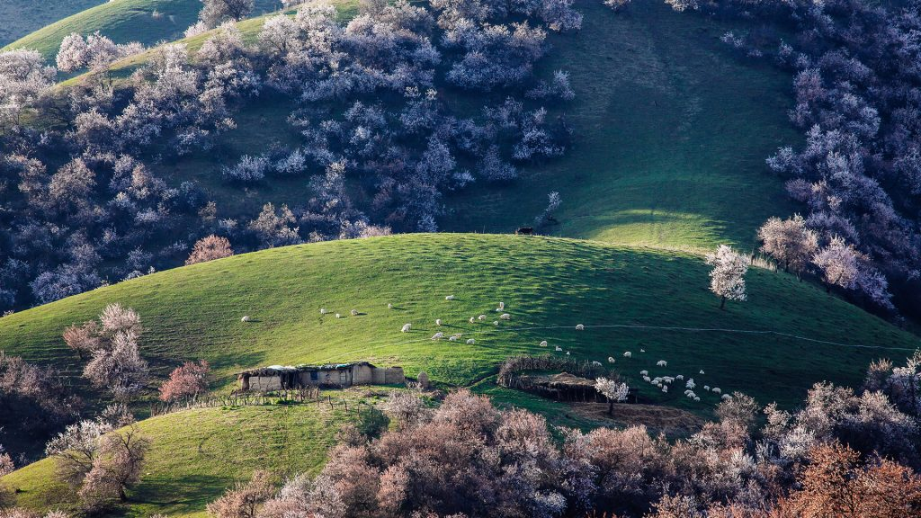 Sheeps came back in afternoon, spring of grassland, Xinjiang region, China